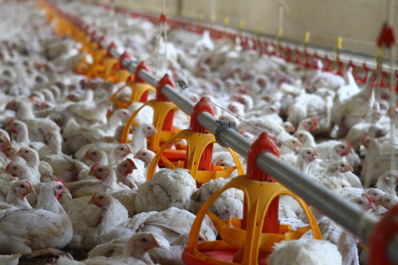 Poultry equipment manufacturer - Modern free range poultry systems -1