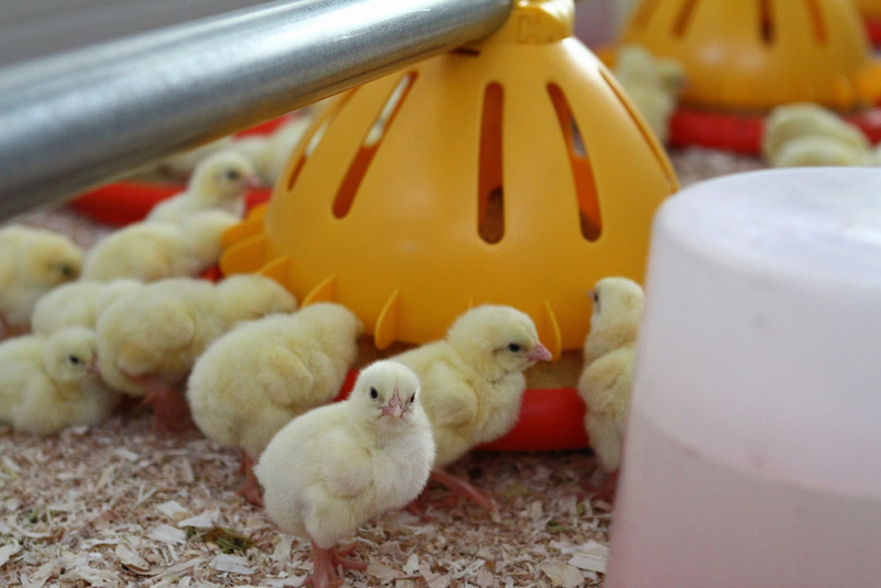 Poultry equipment manufacturer - Modern free range poultry systems -16
