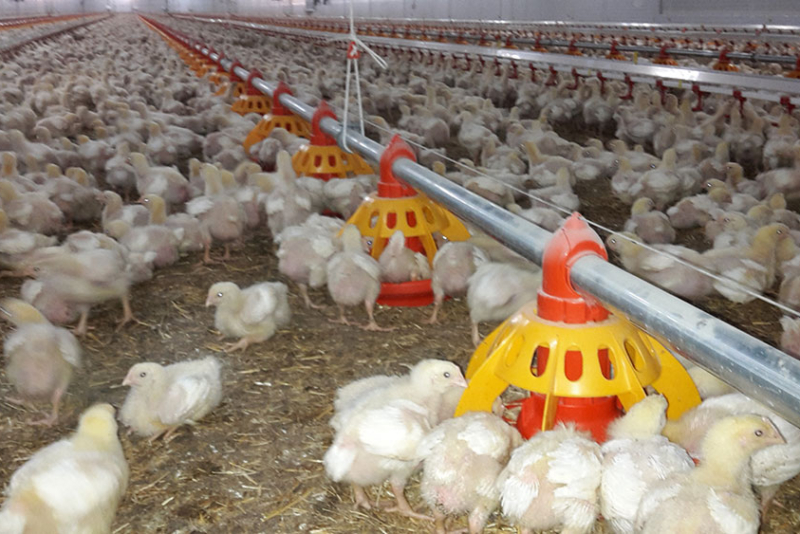 Poultry equipment manufacturer - Modern free range poultry systems -23