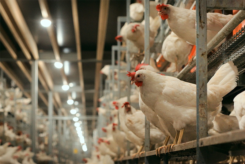 Poultry equipment manufacturer - Modern free range poultry systems -7