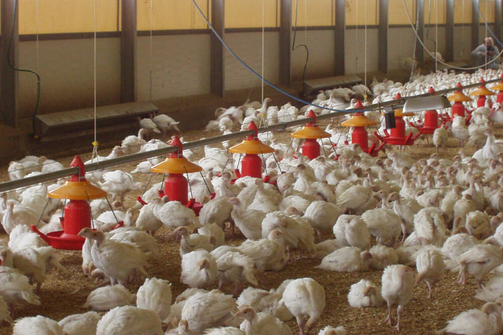 Poultry farm feeding equipment - Commercial poultry feeders - Automatic poultry feeding systems -11