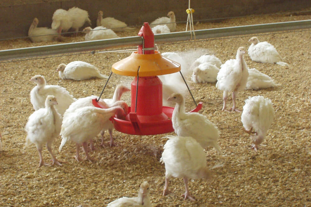 Poultry farm feeding equipment - Commercial poultry feeders - Automatic poultry feeding systems -13