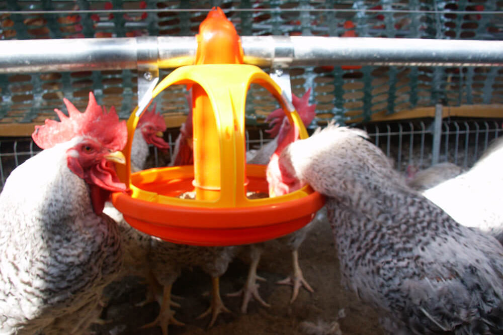 Poultry farm feeding equipment - Commercial poultry feeders - Automatic poultry feeding systems -19