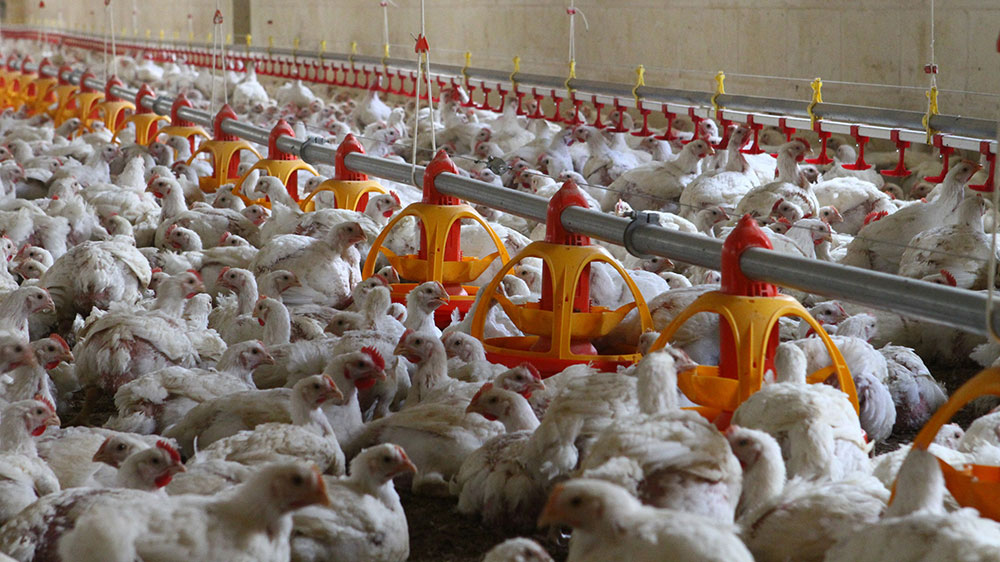Poultry farm feeding equipment - Commercial poultry feeders - Automatic poultry feeding systems -3