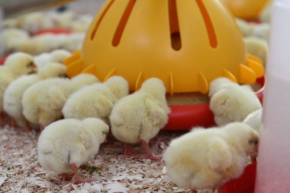 Poultry farm feeding equipment - Commercial poultry feeders - Automatic poultry feeding systems -4