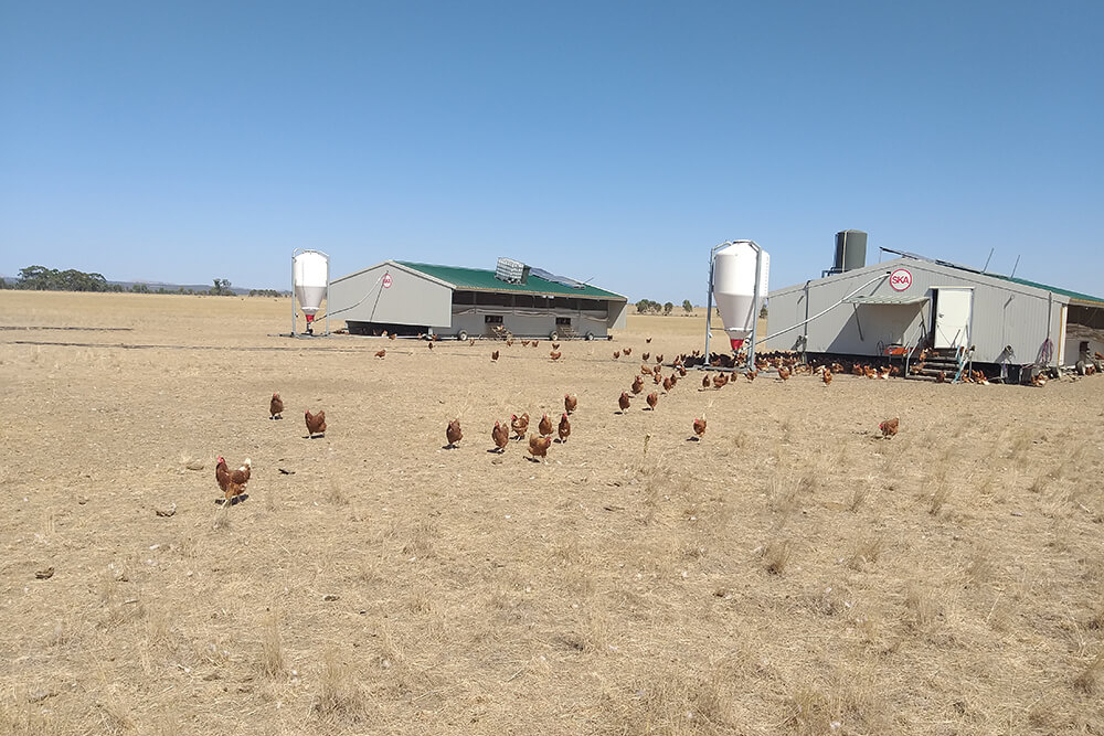 poultry houses hens - free range laying hens housing - poultry house design for layers - commercial laying hen houses-1
