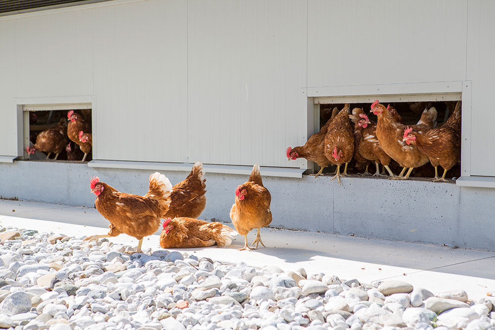 poultry houses hens - free range laying hens housing - poultry house design for layers - commercial laying hen houses-3