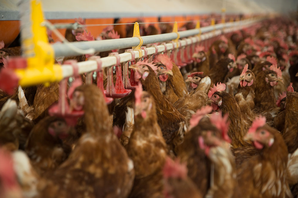 poultry houses hens - free range laying hens housing - poultry house design for layers - commercial laying hen houses-4